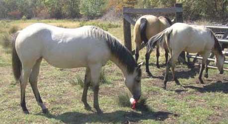 Lazy K Quarter Horses K Horses